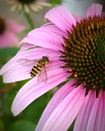 Coneflower Flower EyeEm Nature Lover Beauty In Nature Insect Petal Fragility Nature Freshness Beauty In Nature Flower Head Pollen Bee Growth Pollination Focus On Foreground Purple Day Outdoors Garden Photography Flower Collection In My Garden