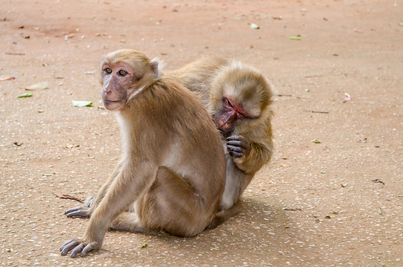 Close-Up Of Monkeys Grooming