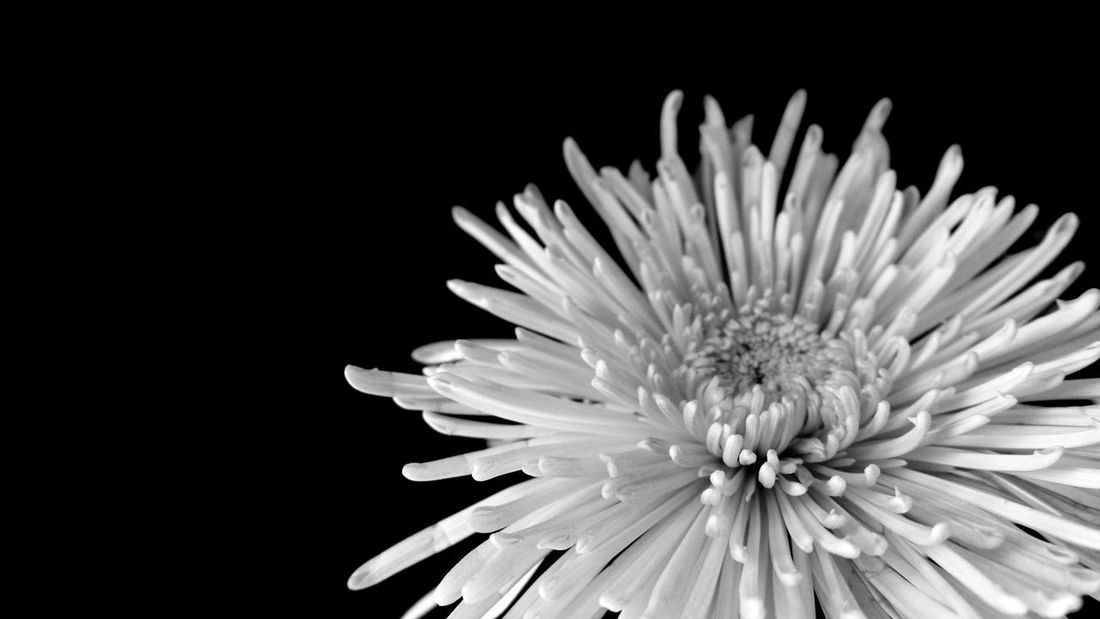 boom Natural Structures Blackandwhite Atmospheric Mood Still Life Backgrounds Pattern, Texture, Shape And Form Structures In Nature Botanical Interior Shadows & Lights EyeEm Best Shots EyeEm Nature Lover EyeEm Best Shots - Black + White EyeEm Masterclass No People No People Silence Monochrome Flower Head Flower Black Background Close-up Plant Chrysanthemum Plant Life In Bloom Blooming Botany