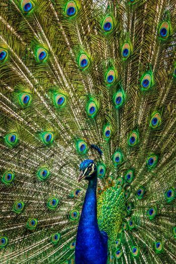 The Week On Eyem EyeEm Best Shots Showcase: February Peacock Bird Grounds For Sculpture