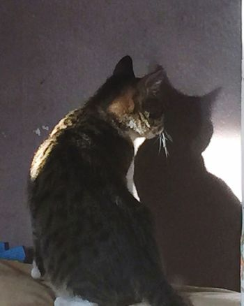 Shadow Mirror Reflection Curiosity Sunday Relaxing  Domestic Cat Domestic Pet House Cats TCPM