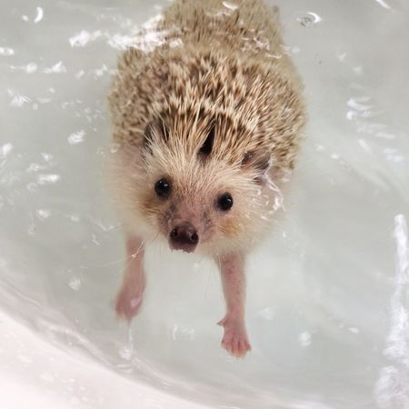 Hedgehog Pet Water Shower Time Animal Themes One Animal Wet Looking At Camera Close-up Pets Day
