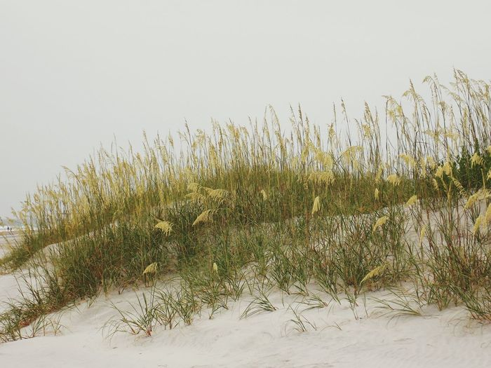 Nature No People Outdoors Grass Day Sky Sand Dune Grass Beauty In Nature Tranquility Landscape NorthCarolinaShores Wrightsville Beach North Carolina Northcarolina