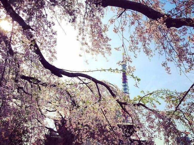Japan Sakura Tokyo Branch Day Garden Hanami Nature Outdoors Plant Sakura Blossom Spring Street Tree