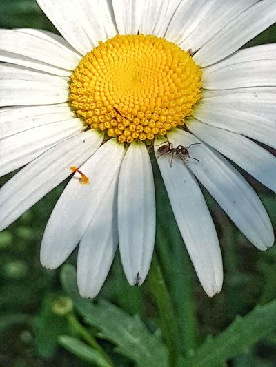 Flower Head Flower Yellow Petal Insect Pollen White Color Close-up Animal Themes Plant