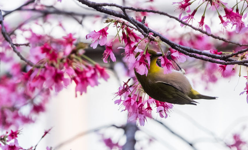 Japanese white eyed bird (scientific name Zosterops japonicus) locally known as mejiro on sakura cherry blossom tree. Cherry Blossoms Sakura Animal Themes Animals In The Wild Bird Branch Day Flower Flower Head Focus On Foreground Fragility Freshness Growth Japonicus Nature No People One Animal Outdoors Perching Petal Pink Color Springtime Tree Twig Zosterops
