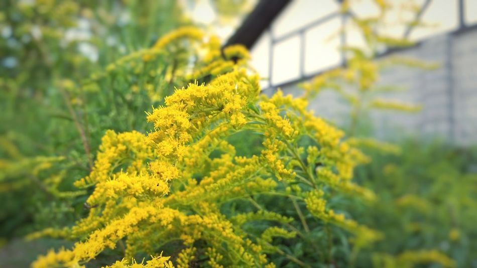 Yellow Flower Growth Freshness Beauty In Nature Focus On Foreground Close-up Botany In Bloom Vibrant Color Goldenrod End Of Summer Autumn Colors Autumn The EyeEm Collection The Premium Collection