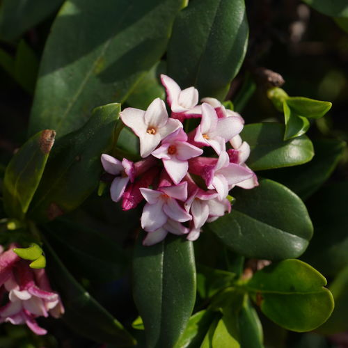 Winter Daphne Beauty In Nature Bunch Of Flowers Close-up Day Flower Flower Head Flowering Plant Freshness Growth Leaf Nature Outdoors Petal Pink Color Springtime