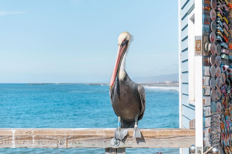 Pelican in the
