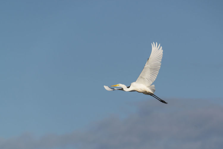 Great egret flying against sky