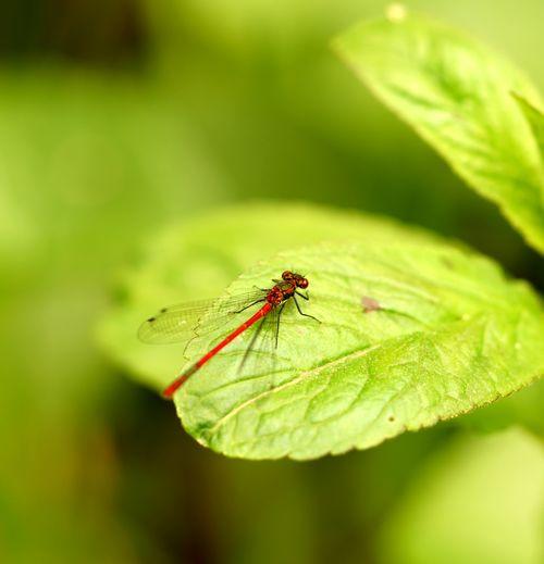 Libellen Leaf