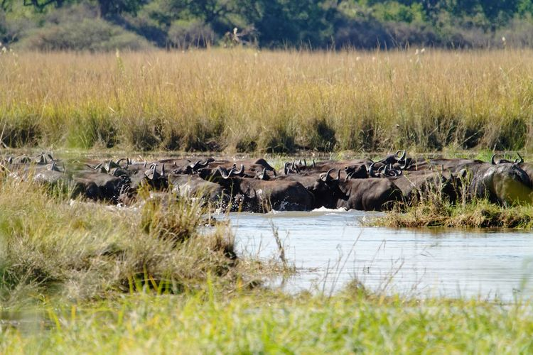 Herd of buffalo crossing river Buffalo Cape Buffalo Africa Caprivi Namibia Okovango Okovango River Cubango River EyeEm Selects Water Safari Animals Tree River Wildebeest Animal Themes Grass Safari Reed - Grass Family Marsh Wetland Swamp Wildlife Reserve Savannah Group Of Animals Herd