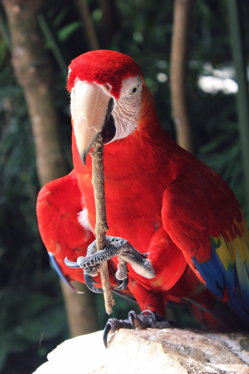 Close-Up Of Scarlet Macaw Perching On Rock