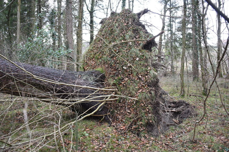 Bern Brunhild Schweiz Storm Tree Baum Forrest Gespalten Sturm Switzerland Wald