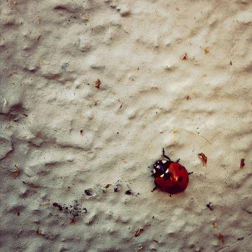 Ladybug Nyckelpiga Animal