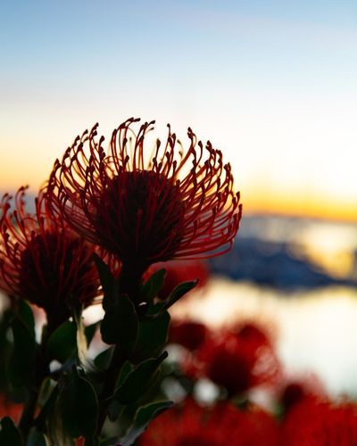 red protea at sunrise Plant Beauty In Nature Close-up Sky Flowering Plant Nature Growth Flower Fragility Freshness Vulnerability  Focus On Foreground No People Selective Focus Red Sunset Flower Head Inflorescence Petal Tranquility Outdoors Protea Monterey
