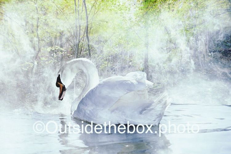 France Swan Beautiful Swans Swan Lake White Swan Swantastic Swanriver Beauty Water Reflections