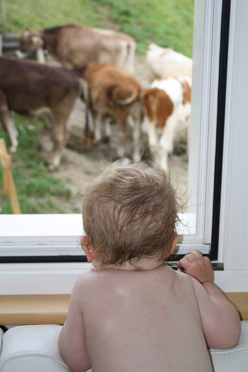 Baby looking at cow through window