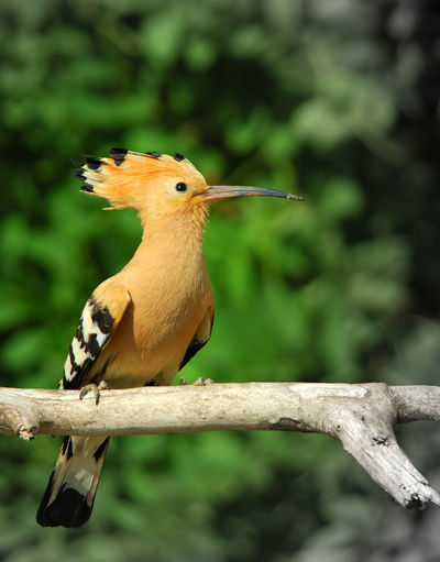 Close-Up Of Hoopoe Perching On Wood