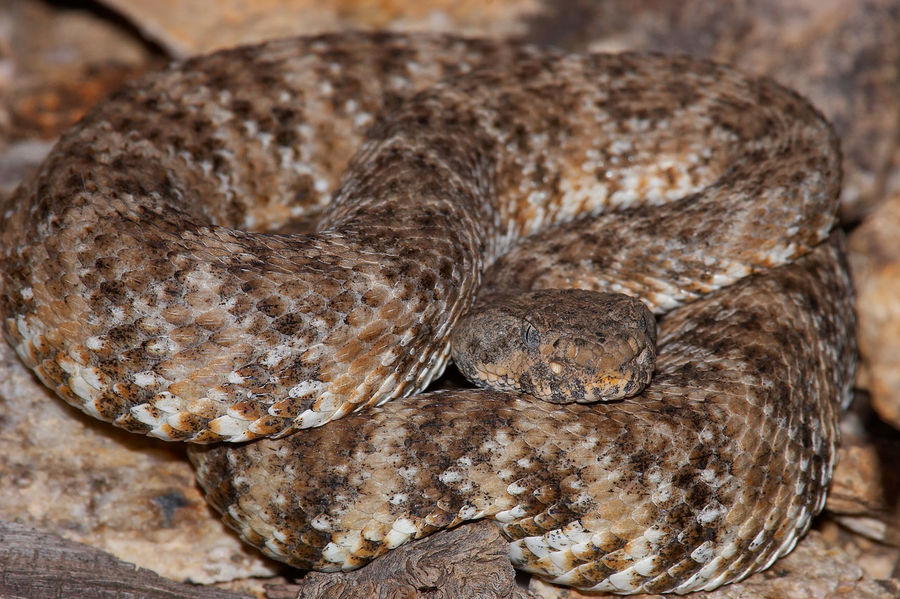 Animal Scale Animal Skin Animal Themes Animals In The Wild California Close-up Crotalus Mitchellii Pyrrhus Danger Dangerous Dangerous Animals Day Nature No People One Animal Outdoors Reptile Southwestern Speckled Rattlesnake Speckled Rattlesnake Textured  Venomous Venomous Snake
