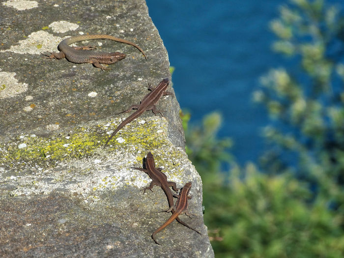 Lizards on the edge of a rock wall. Animal Animal Wildlife Animals In The Wild Animal Themes One Animal Nature No People Vertebrate Plant Focus On Foreground Day Reptile Water Lizard Close-up Outdoors Sea Sunlight Rock Marine Lizards