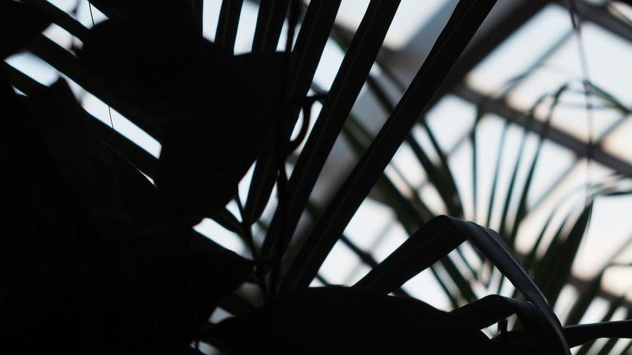 熱帯植物園 植物園 Botanical Gardens Leaves🌿 Silhouettes Leaves Silhouette Lines And Shapes Lines Light And Shadow Sharp And Soft Nature Photography Focus On Foreground Plants 🌱 Nature EyeEm Nature Lover Test Shot Industar-61 L/D 55mm F/2.8 ロシアンレンズ 試し撮り