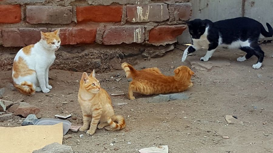 Stray cats Family Cat Pets Bird Domestic Cat Chicken - Bird Animal Themes Livestock Kitten Feline Young Animal Cat Ginger Cat Stray Animal Four Animals