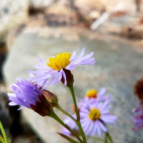 By the sea.... Nature Photography Nature_collection Flowers On The Ground Flowerheads Flowerphotography Wildflower Wildflowers In Bloom Wildflowers Purple Flower Close Up