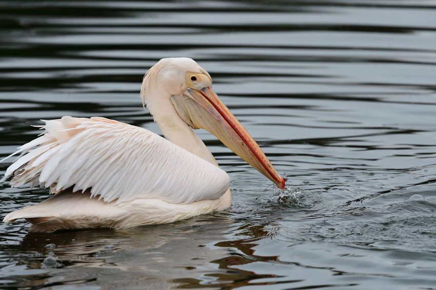 Animals In The Wild Check This Out EyeEm Best Shots EyeEm Nature Lover Low Angle View Nature Nature Photography Swimming Taking Photos Animal Themes Animal Wildlife Beauty In Nature Bird Birds Close-up Day Nature_collection No People One Animal Outdoors Pelican Portrait Water Water Bird Wildlife