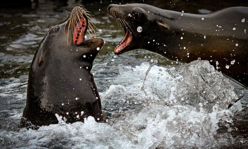 Two Animals Animal Wildlife Mouth Open Animals In The Wild Animal Animal Themes Roaring No People Water Nature Aquatic Mammal Sea Life Day Outdoors Conflict