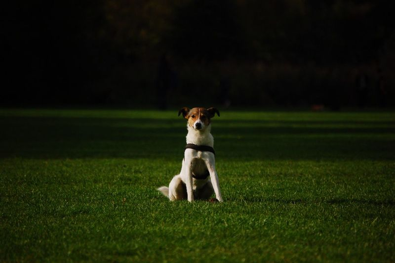 Portrait of dog sitting on field