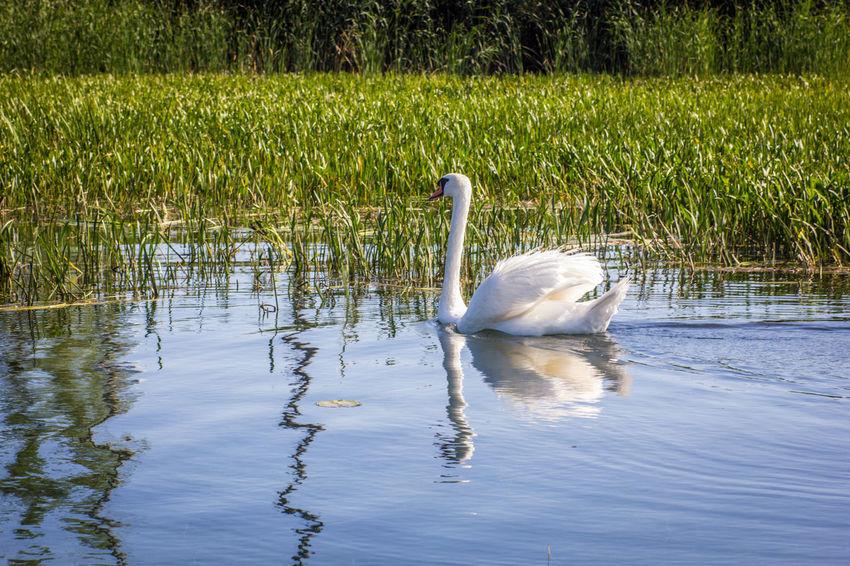 Swan reflected Detroit River Swan Swimming Away Animal Wildlife Animals In The Wild Michigan Outdoors No People One Animal Reeds Reeds, Weeds, Marshland, Marsh, Reflection Swan Swan Swimming Swimming Water Bird