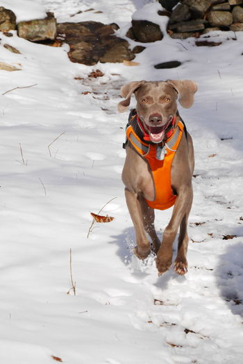A running Weimaraner is a happy Weimaraner. Happy Happiness Happydog Happydogs Running Runningdog Freedom ReleaseTheBeast Release Tension Snowscene Dogs Weimaraner Weim Weimaranerlove Eyemdog Smile Check This Out Photography In Motion
