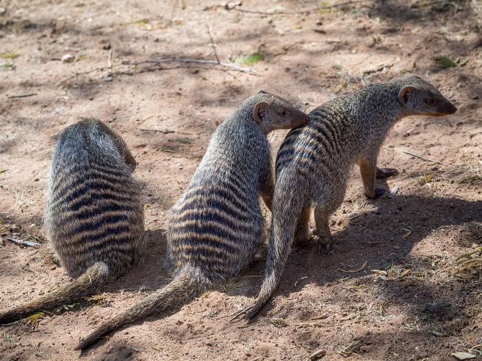 Close-Up Of Family Of Striped Mongoose At Chobe National Park, Botswana