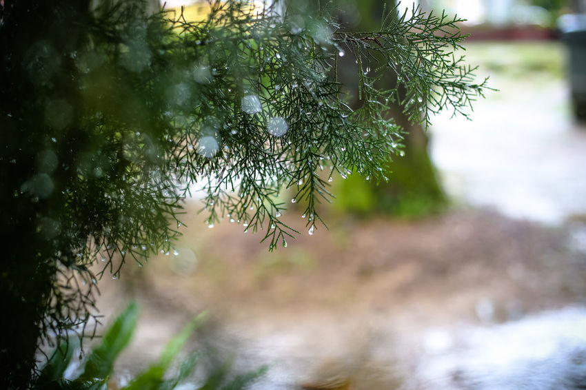 Plant Tree Growth Day No People Nature Close-up Selective Focus Focus On Foreground Beauty In Nature Branch Outdoors Water Green Color Tranquility Wet Drop Fruit Pine Tree Coniferous Tree Needle - Plant Part Fir Tree