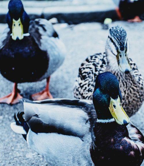 Bird Animal Themes Animals In The Wild Animal Wildlife Mallard Duck Duck Beak Close-up No People One Animal Nature Day Outdoors