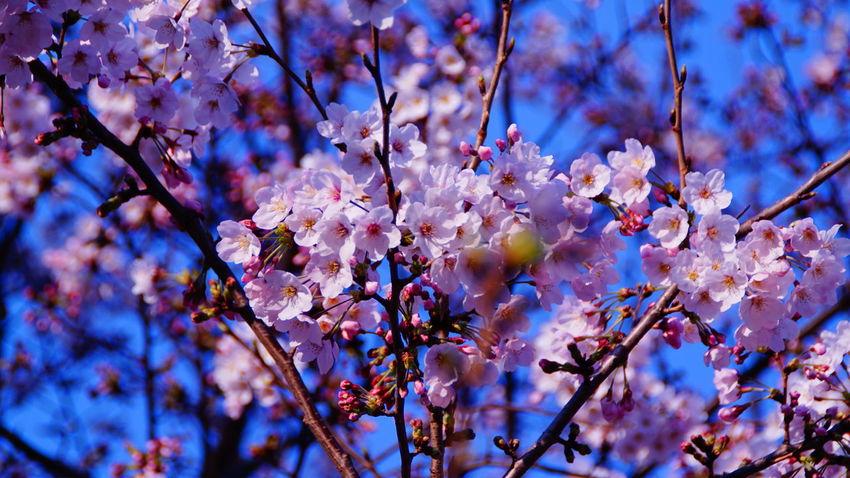 今日1番のお気に入り。 Flower 桜