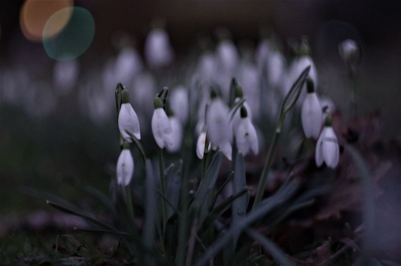 flowers in the dark Beauty In Nature Blooming Close-up Crocus Day Flower Flower Head Focus On Foreground Fragility Freshness Growth Nature No People Outdoors Petal Plant Snowdrop