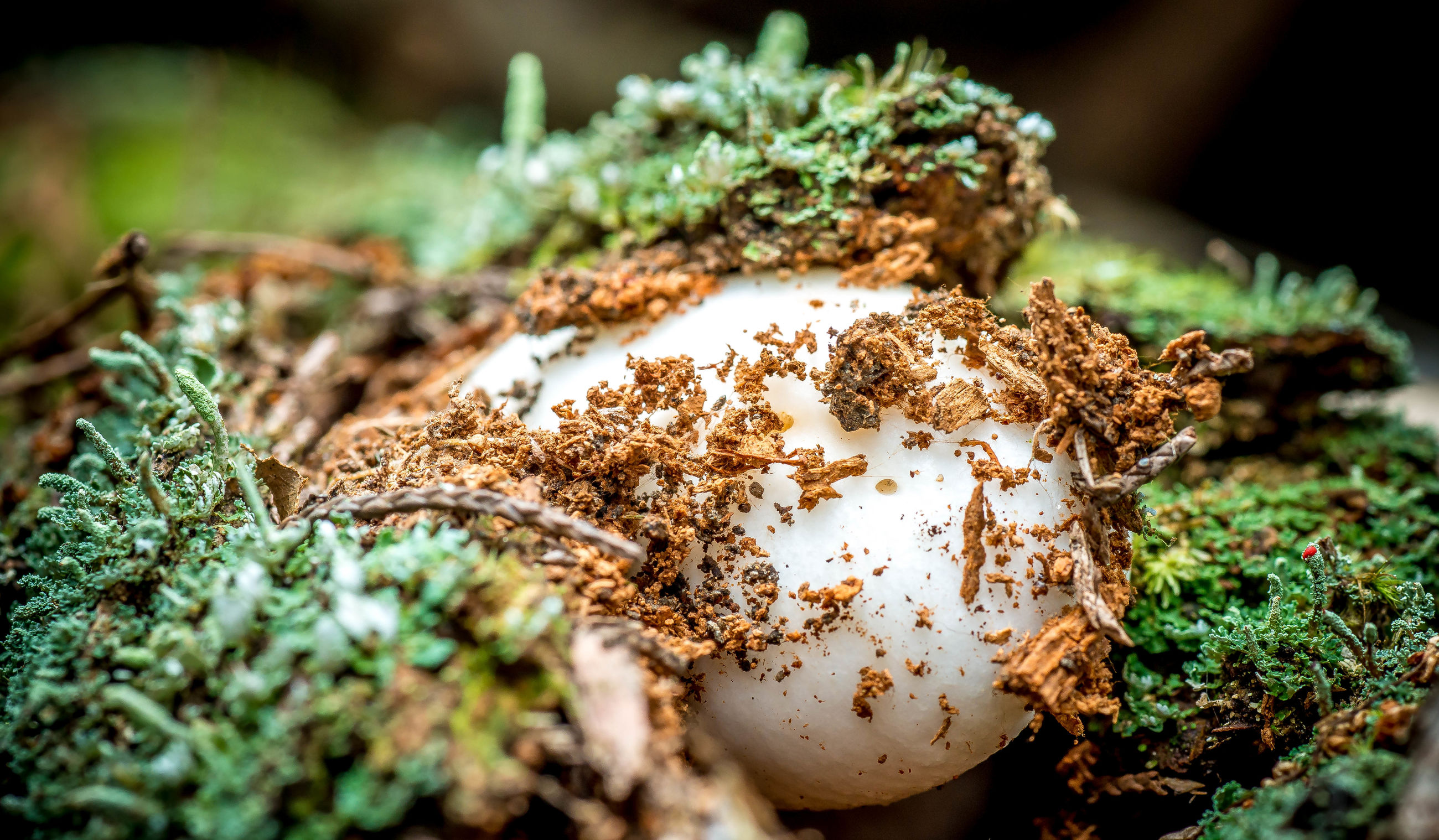 close-up, selective focus, mushroom, growth, fungus, focus on foreground, nature, plant, moss, dry, leaf, field, outdoors, forest, day, no people, toadstool, growing, grass, ground