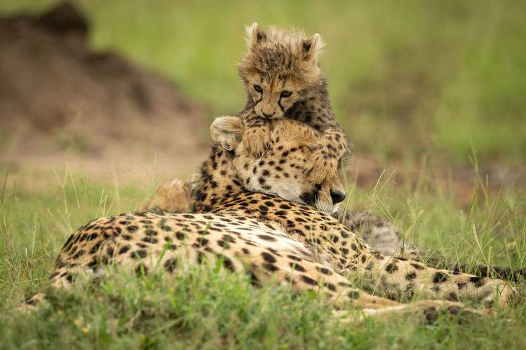 Cub lies leaning on head of cheetah
