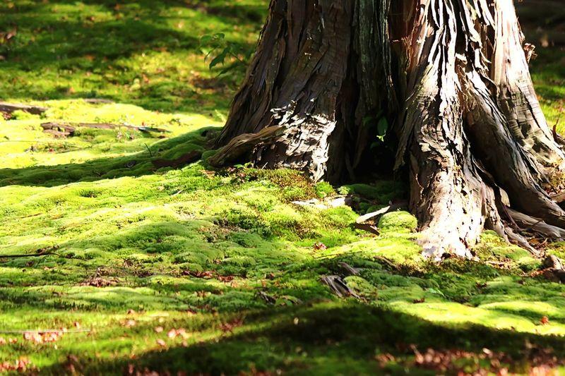 Mossporn Mossy Moss & Lichen Mossyforest Moss-covered Moss Green Moss Moss Art Beautiful Moss Creative Light And Shadow Light And Shadow Auntumn Colors Auntum Leaf Beautiful Nature Beautiful Colors Mapleleaf EyeEm Nature Lover