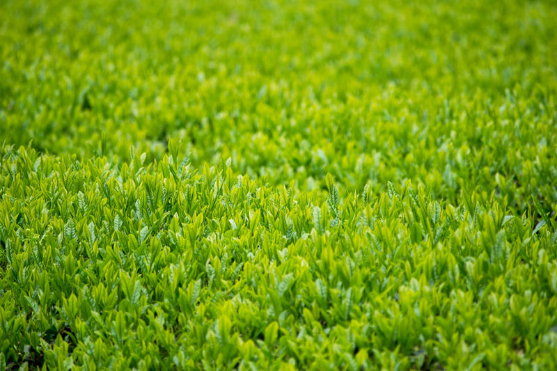 Backgrounds Beauty In Nature Close-up Day Field Focus On Foreground Full Frame Grass Grassy Green Green Color Growing Growth Landscape Lush Foliage Nature No People Outdoors Plant Rural Scene Scenics Selective Focus Tea Tranquil Scene 茶畑