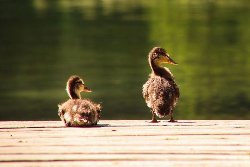 Ducks on a wood