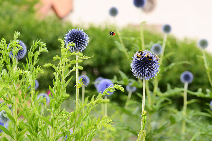bumblebees visiting the globe thistle Beauty In Nature Bumblebee Bumblebee On Flower Bumbles Echinops Ritro Flower Focus On Foreground Globe Thistle Globe Thistle Flower Nature No People Outdoors Purple Flowers Spiked Flower