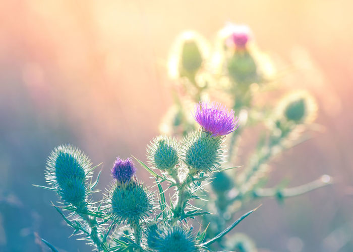 Beauty In Nature Close-up Flower Flower Head Flowering Plant Focus On Foreground Fragility Freshness Growth Herb Inflorescence Nature No People Outdoors Plant Purple Selective Focus Softness Springtime Thistle Uncultivated Vulnerability  Wildflower