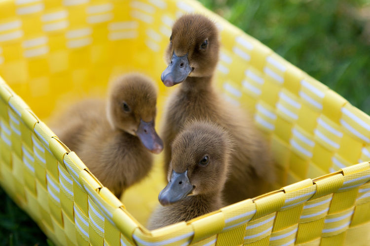 Close-Up Of Ducklings In Basket