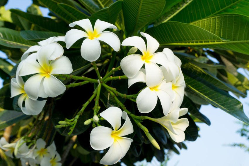 Plumeria Plumeria Tree Beauty In Nature Blooming Close-up Day Flower Flower Head Fragility Freshness Growth Leaf Nature No People Outdoors Periwinkle Petal Plant Plumeria Blossoms Plumeria Flower Plumeria Flowers Plumeria In Nature