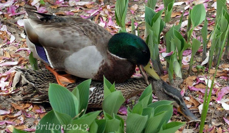 EyeEm Nature Lover Go Get A Room... Just Being Duckies