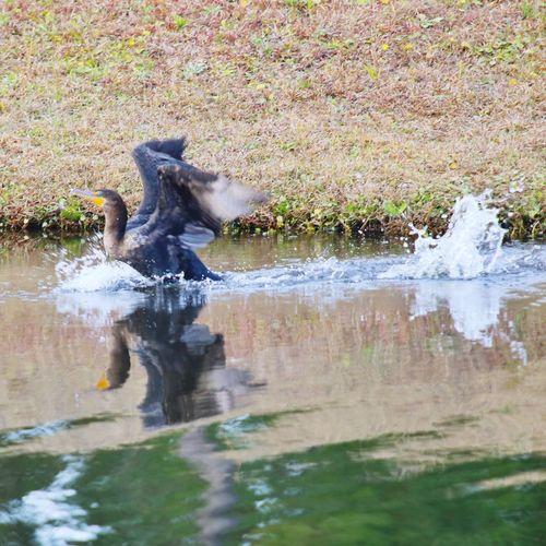 Splashdown landing JGLowe Bird In Flight Bird Photography Bird Water Splashing One Animal Waterfront Animal Themes Dog Motion No People Lake Outdoors Day Nature