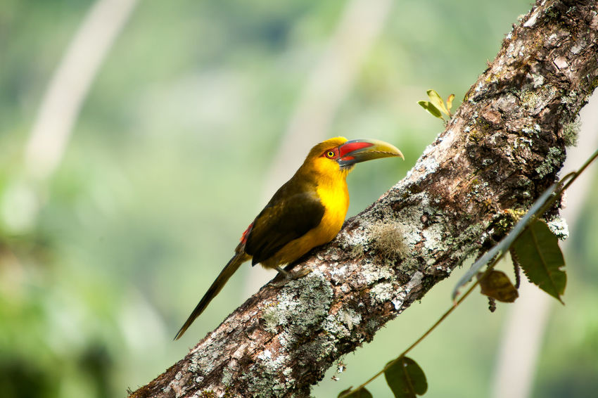Aves Freedom Nature Piciformes Pteroglossus Bailloni Toucan Toucans Animal Themes Animal Wildlife Animals In The Wild Aracari Aracari-banana Bird Birds Fauna Long-tailed Toucan One Animal Pteroglossus Rainforest Ramphastidae Saffron Toucanet Trunk Wings